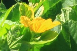 La flor del meló
