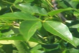 Fulles verdes