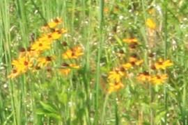 Flors silvestres grogues