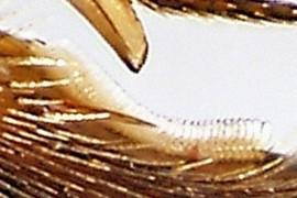 basitarsal notch