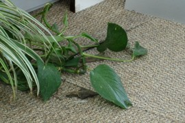Philodendron/Pothos