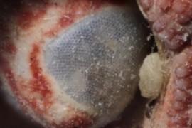 crab eye