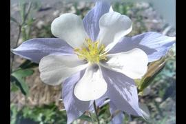 Colorado Columbine - The state flower