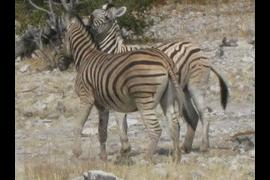 Pair of zebra