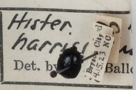 Margarinotus harrisii (Kirby, 1837)