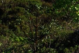 Melicope clusiiflia