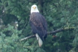 Nearbynature Bald Eagle